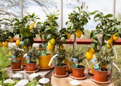 Baumschule Langhirt Mediterrane Kuebelpflanzen